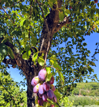 Plums at Fonte Martino