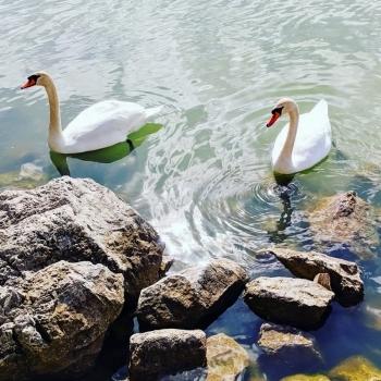 Swans on Lago Trasimeno