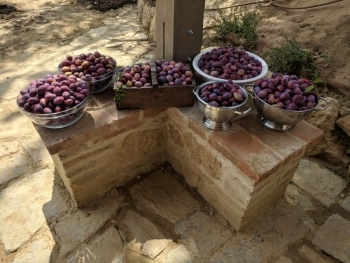 Baskets of plums at Fonte Martino