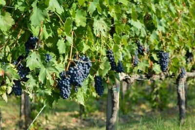 Vino Nobile di Montepulciano vineyard grapes