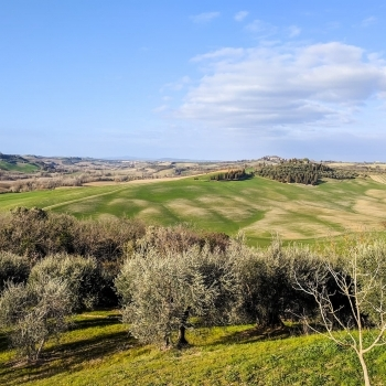Olive trees in the Val d'Orcia