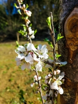 Almond Blossoms at Fonte Martino