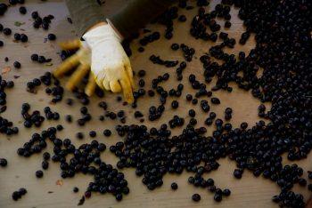Podere Albiano anna sorting grapes