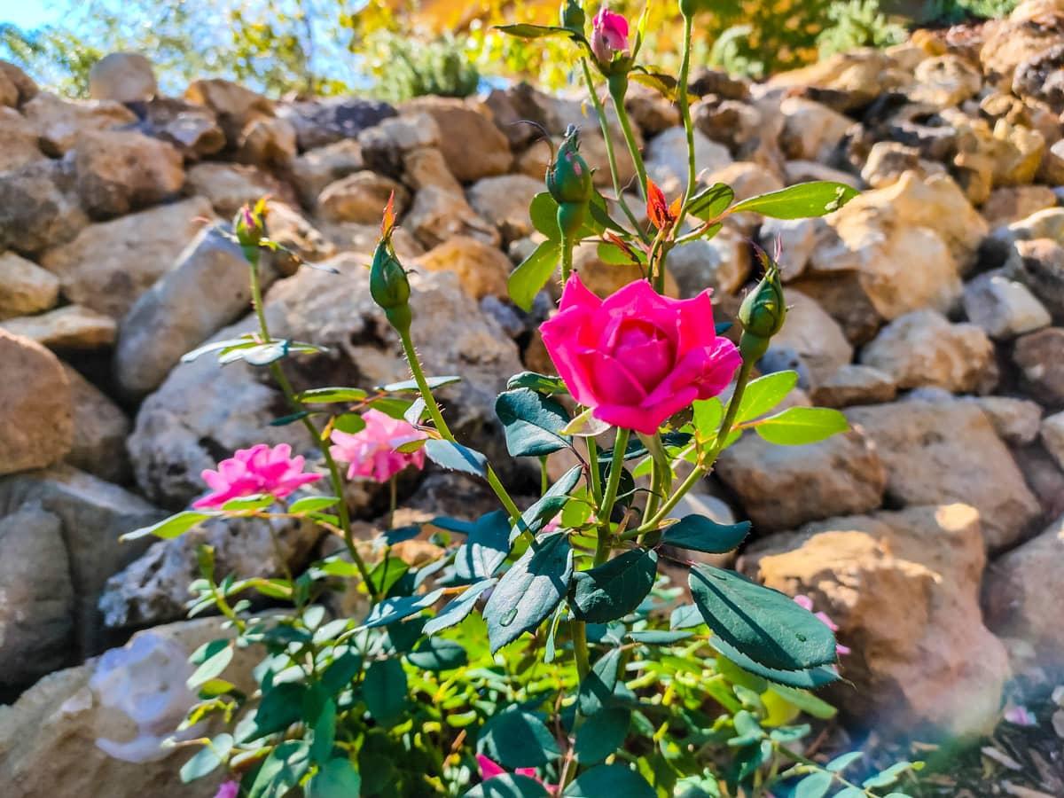 rozen-bloeien-in-toscane-montepulciano